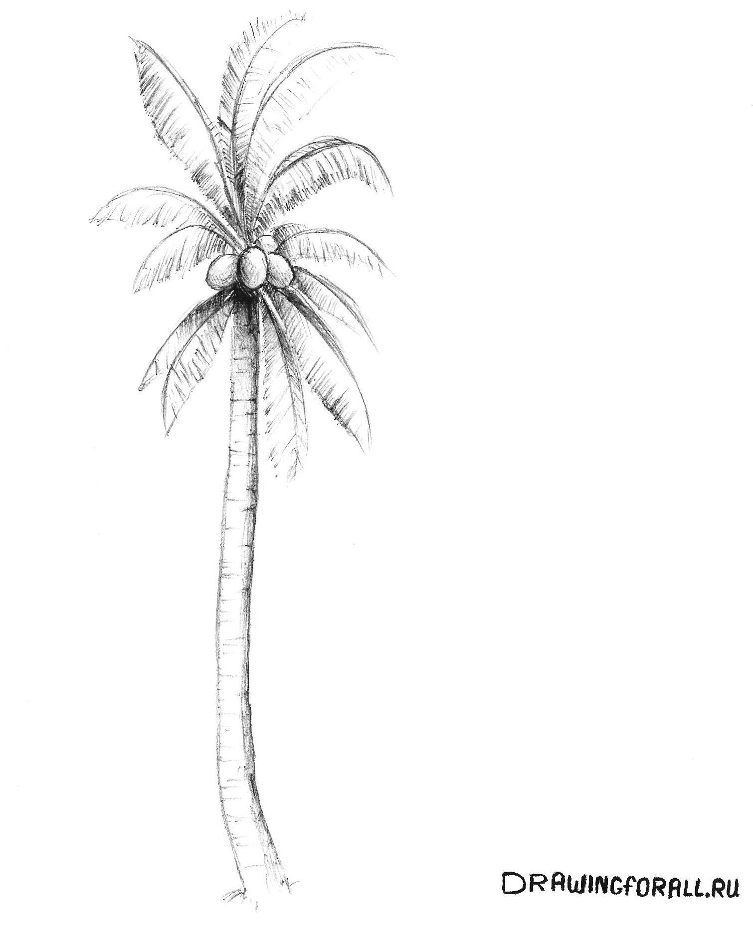 как нарисовать пальму поэтапно