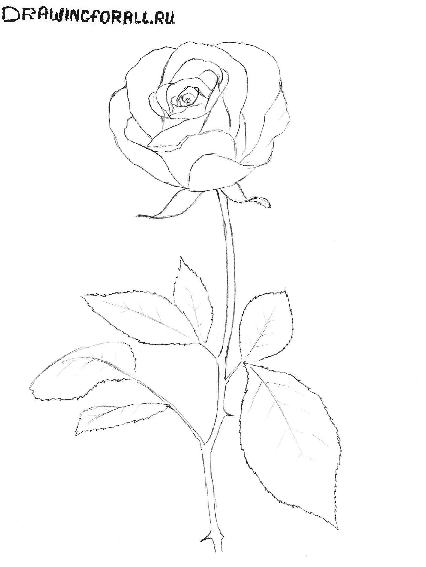 Рисунки роза поэтапно карандашом