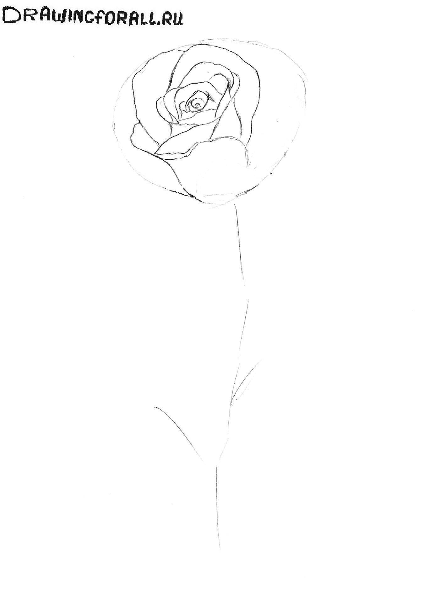 роза рисунок