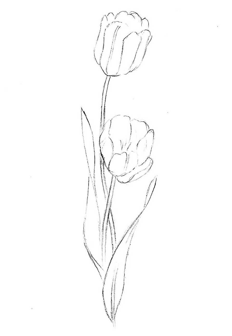 как нарисовать тюльпан карандашом