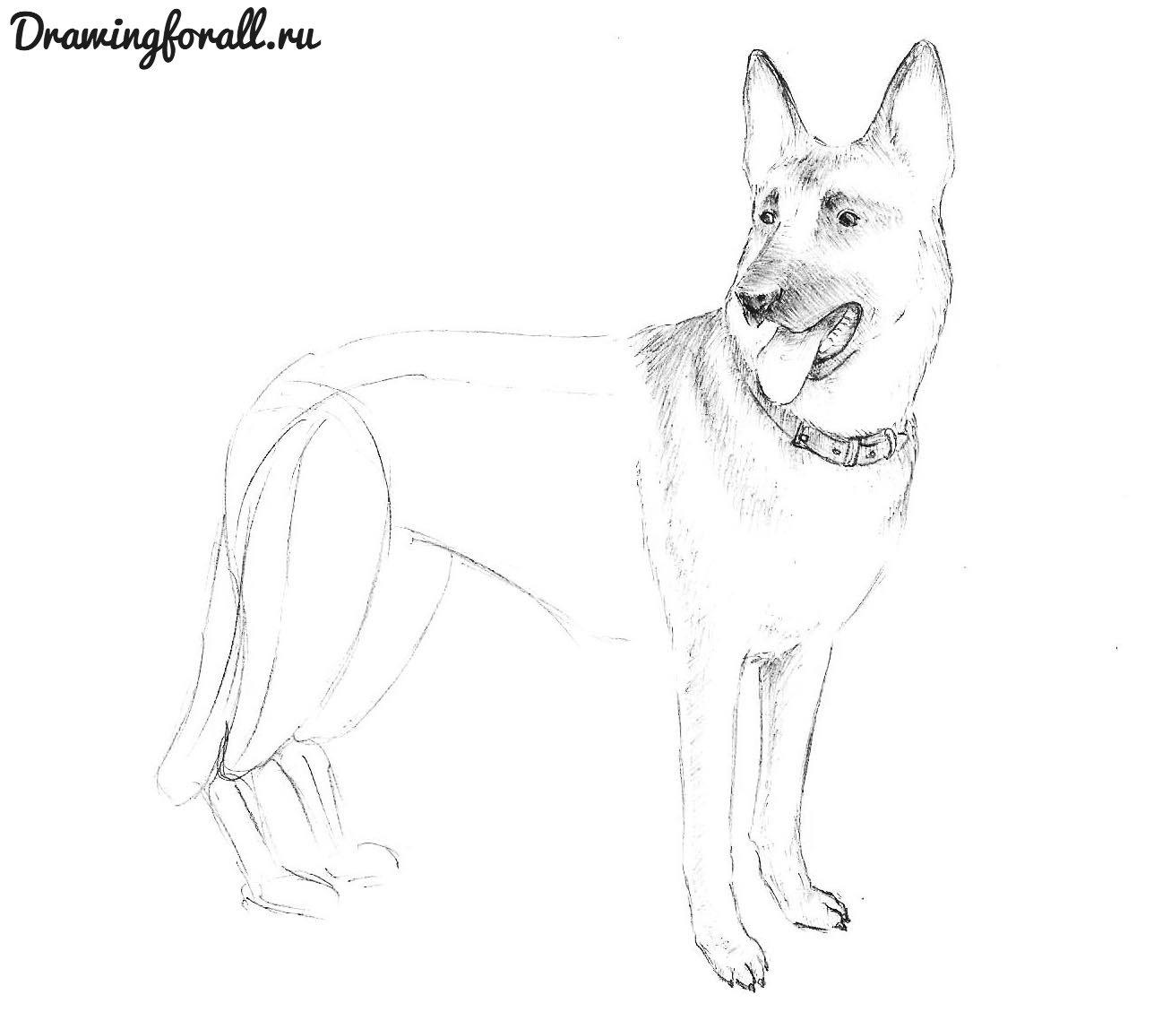 как нарисовать собаку немецкую овчарку