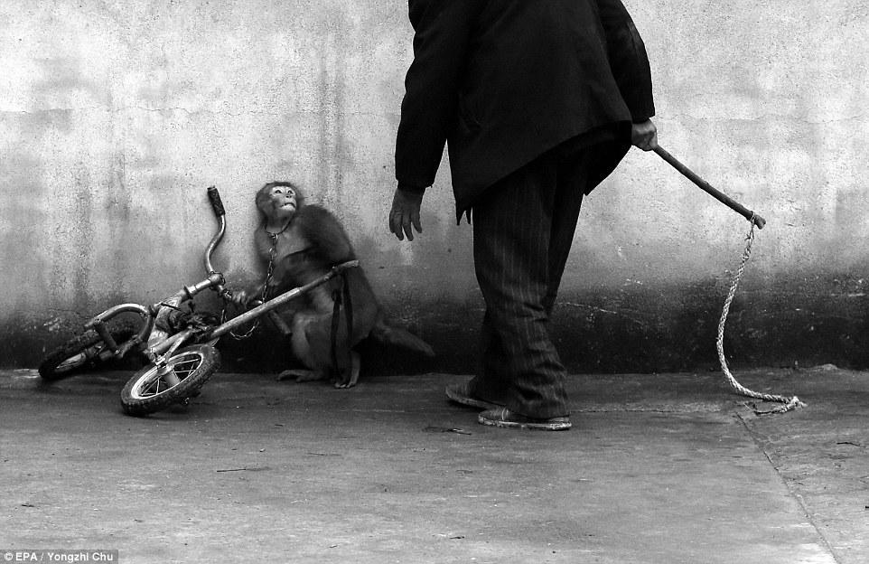 Дрессировка цирковой обезьяны