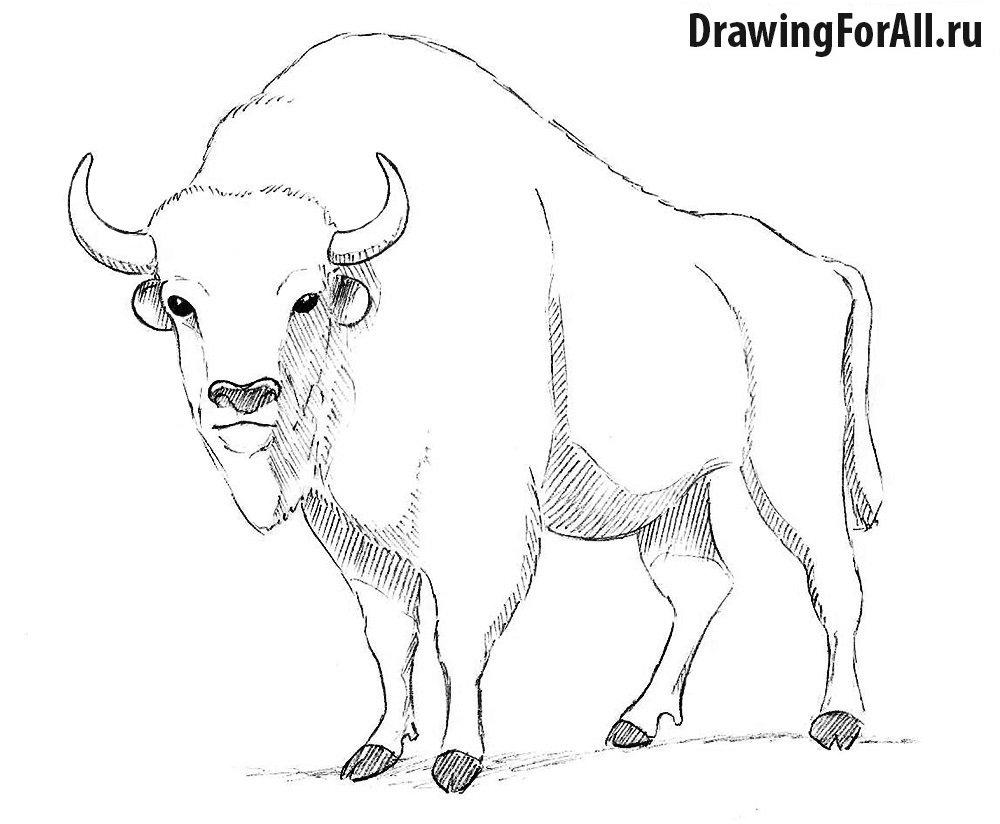 Как нарисовать бизона