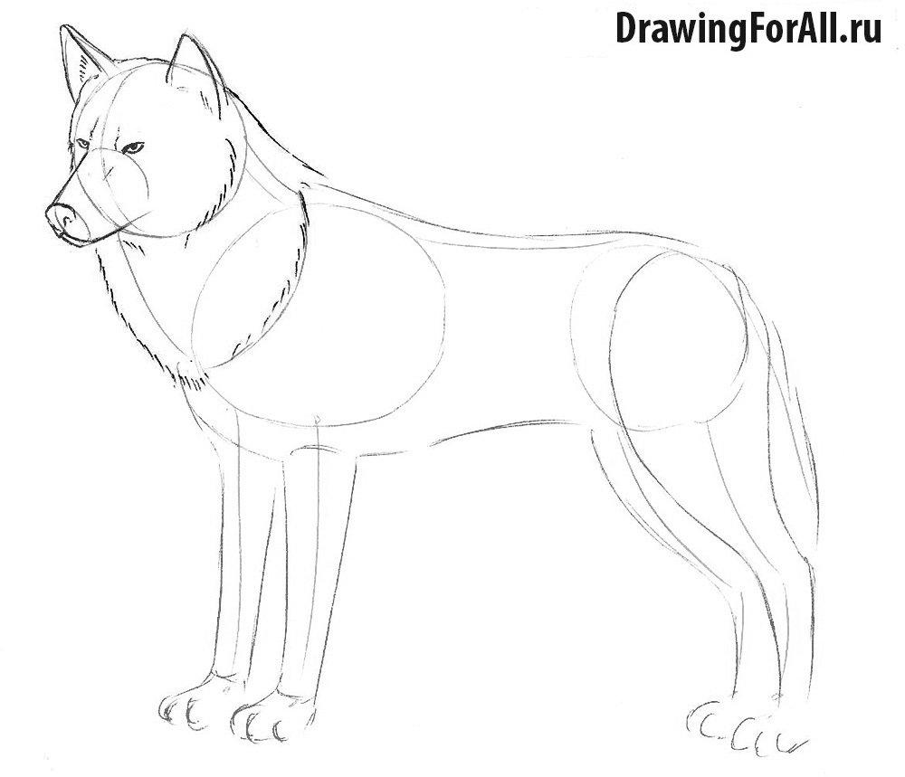 Как нарисовать волка для начинающих